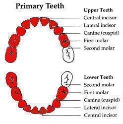 Jade's teeth at 32-ish months