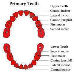 jades-teeth-35-months
