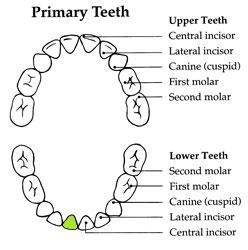 PrimaryTeeth - Halia 9.5 Months