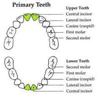 PrimaryTeeth - Halia 11.5 Months